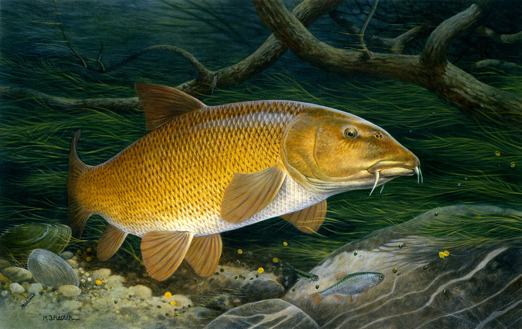 gold barbel photo and wallpaper cute gold barbel pictures