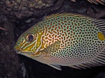 Gold rabbitfish