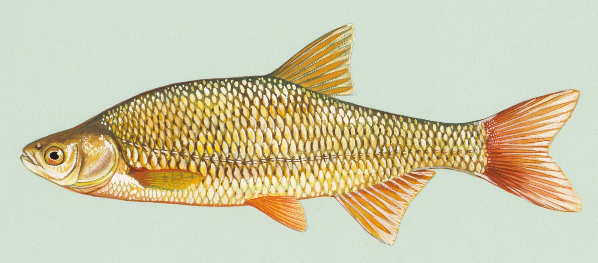 Golden shiner wallpaper