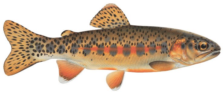 Golden trout wallpaper