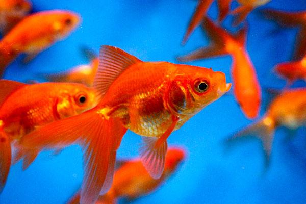 Goldfishes for ponds wallpaper