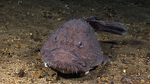 Goosefish in the sand