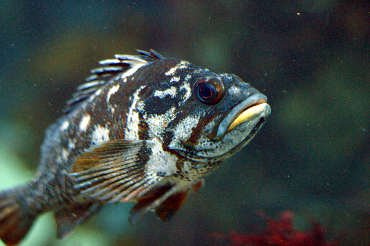 Gopher rockfish wallpaper