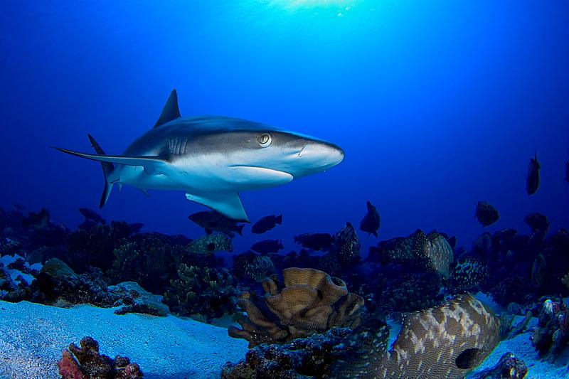 Gray reef shark anderwater wallpaper