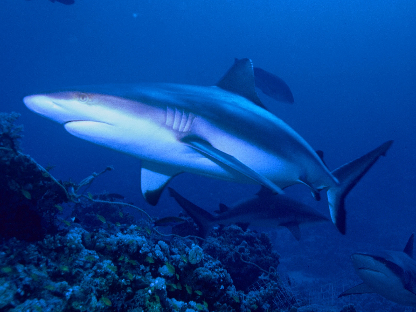 Gray reef shark wallpaper
