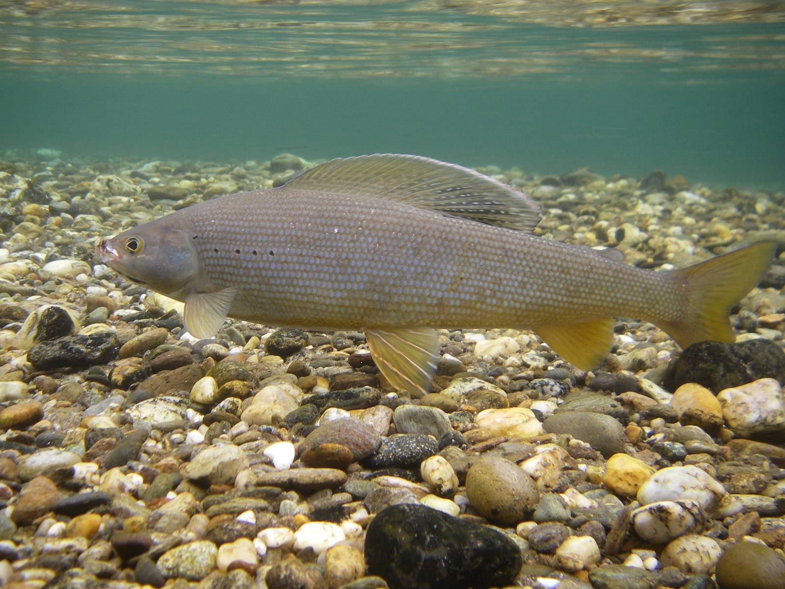 Grayling in the rocks wallpaper