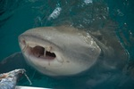 Great blind shark