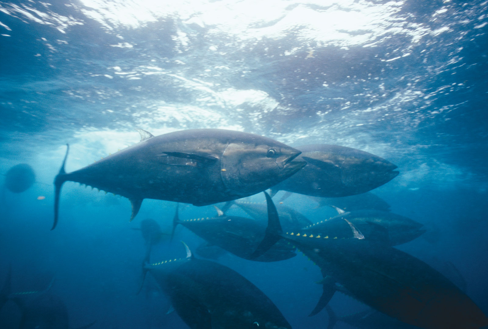 Great bluefin tuna wallpaper