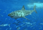 Great white shark in the school of fish