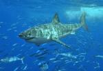 Белая акула в стае рыб