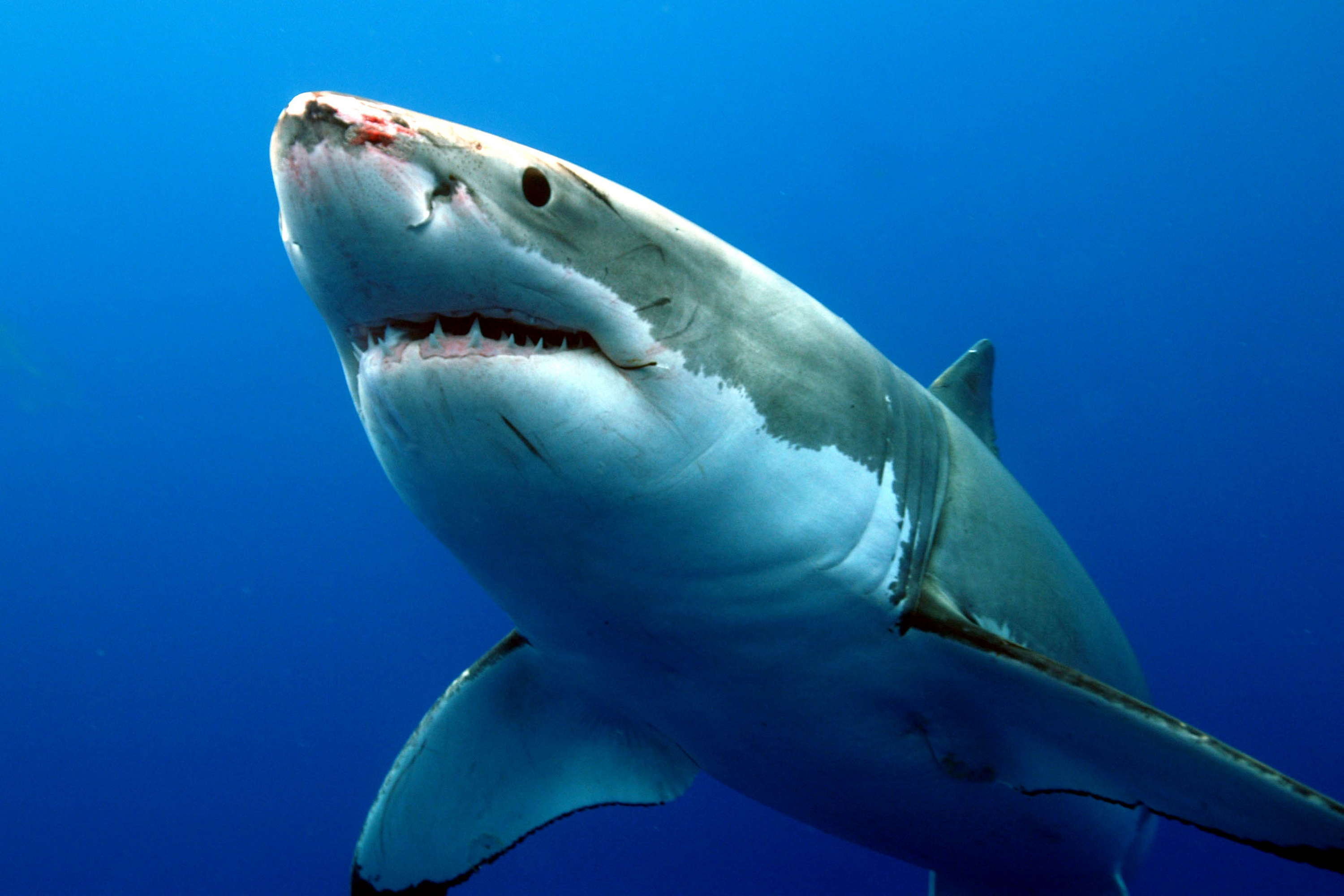 cute great white shark - photo #19
