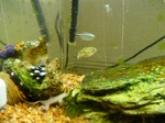Green spotted puffer in aquarium