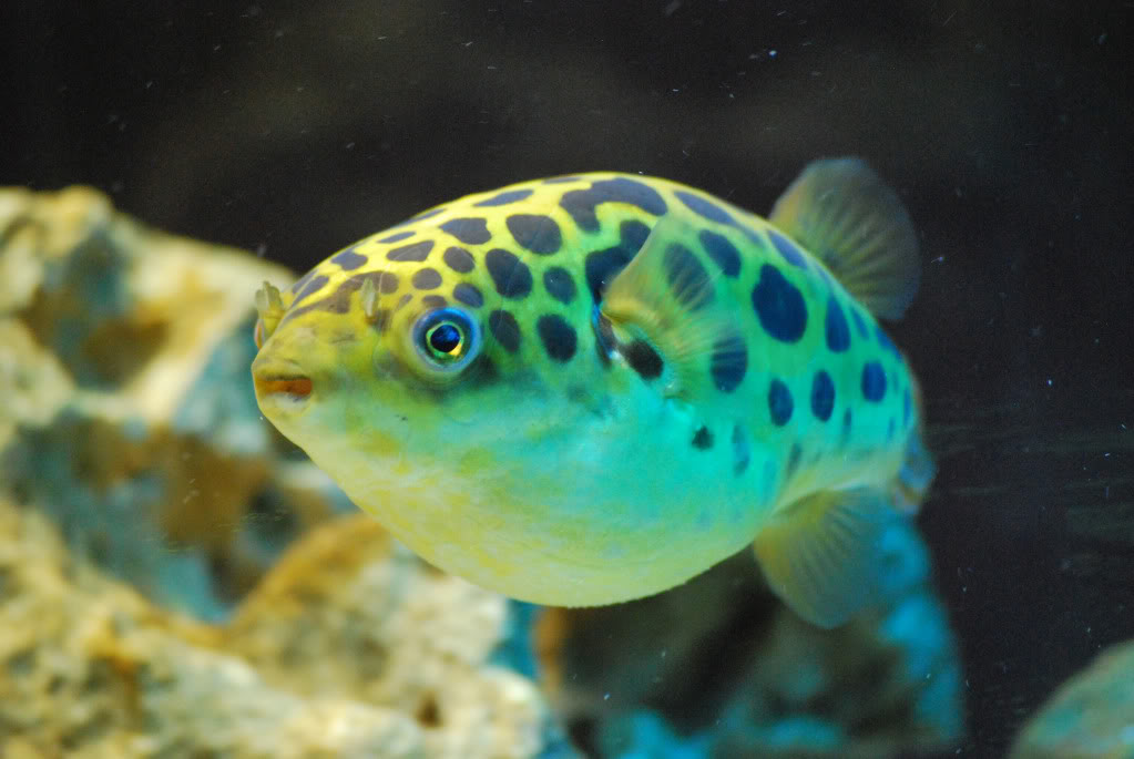 Green spotted puffer wallpaper
