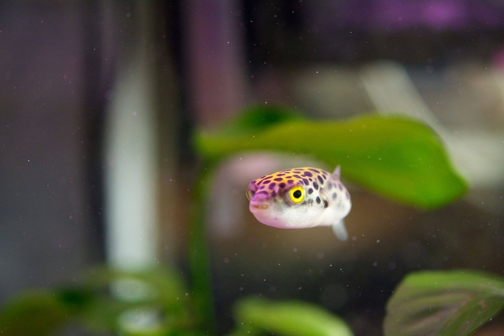 Green spotted puffer swims wallpaper