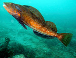 Greenling swims