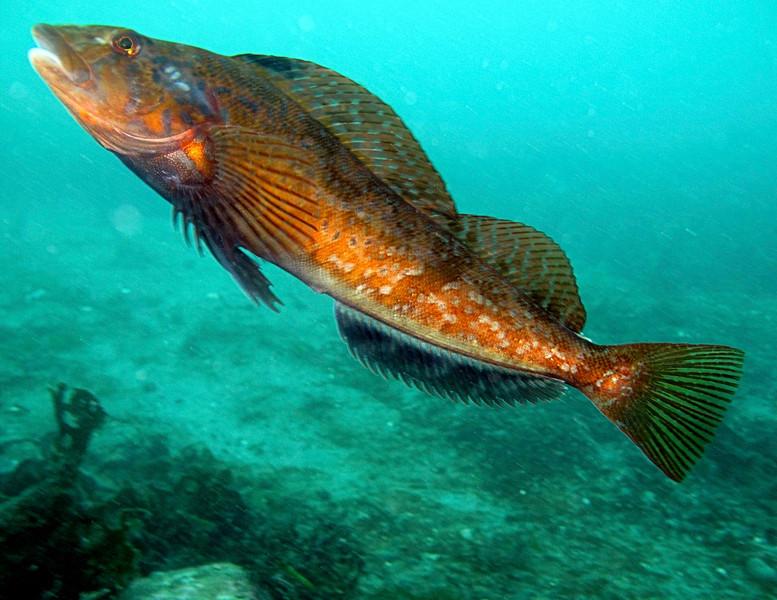 Терпуговая рыба плывет фото