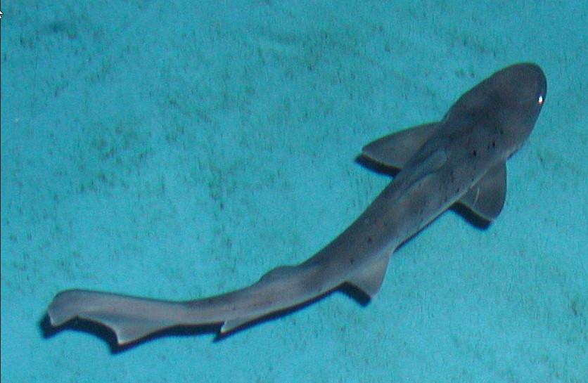 Серая усатая акула фото