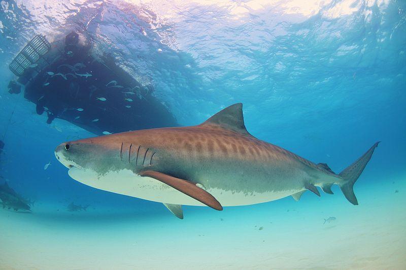 Ground shark wallpaper
