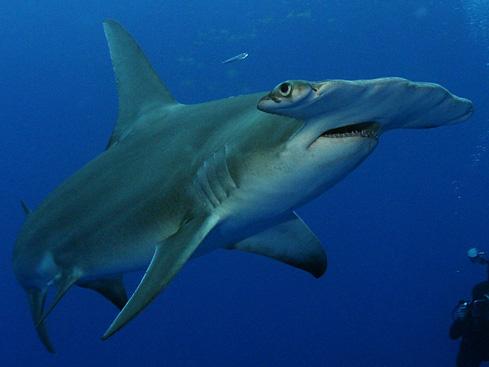 Ground shark swims wallpaper