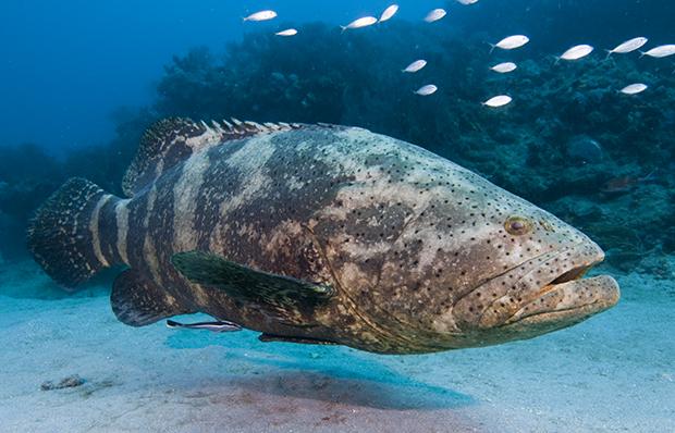 Grouper swims wallpaper