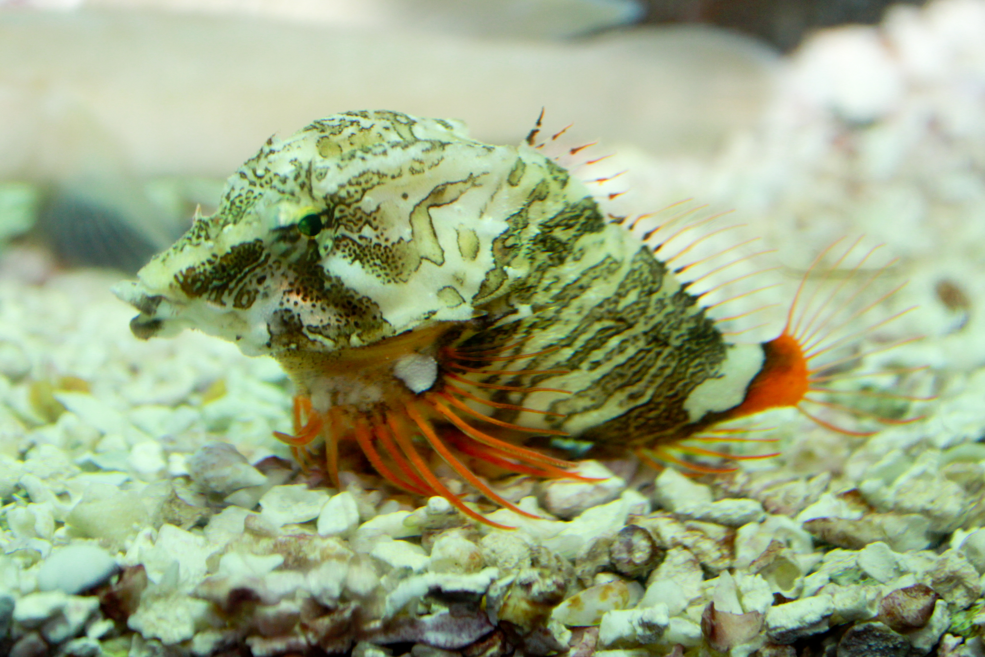 Grunt sculpin wallpaper