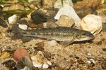 Gudgeon in the rocks
