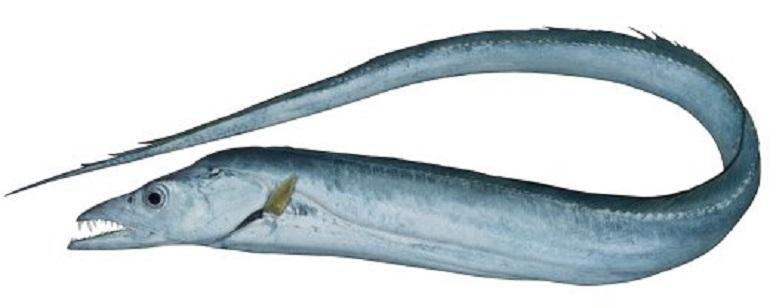 Обыкновенная рыба-сабля фото