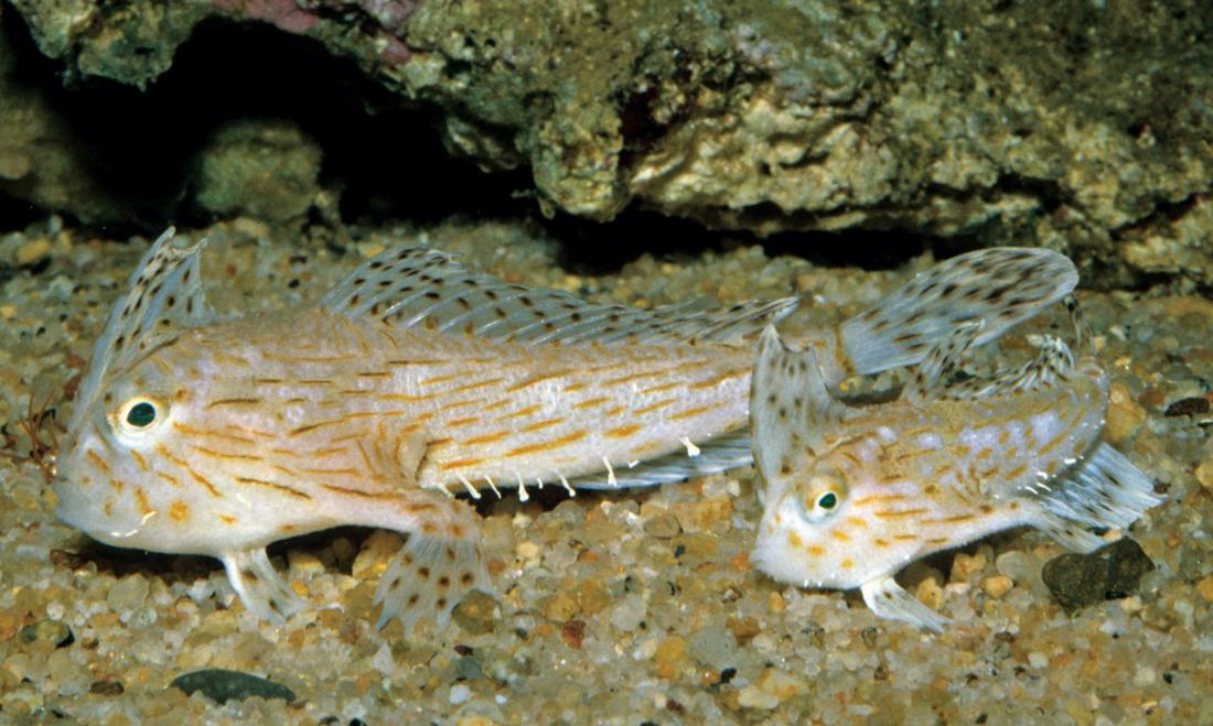 Рыба-рука фото
