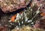 Hid Anemonefish
