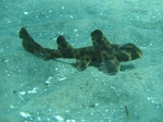 Horn shark in the sand
