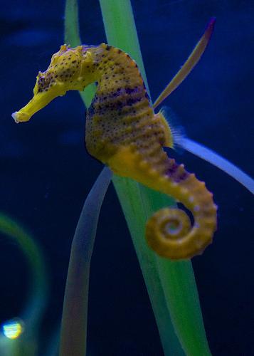 Horsefish swims wallpaper