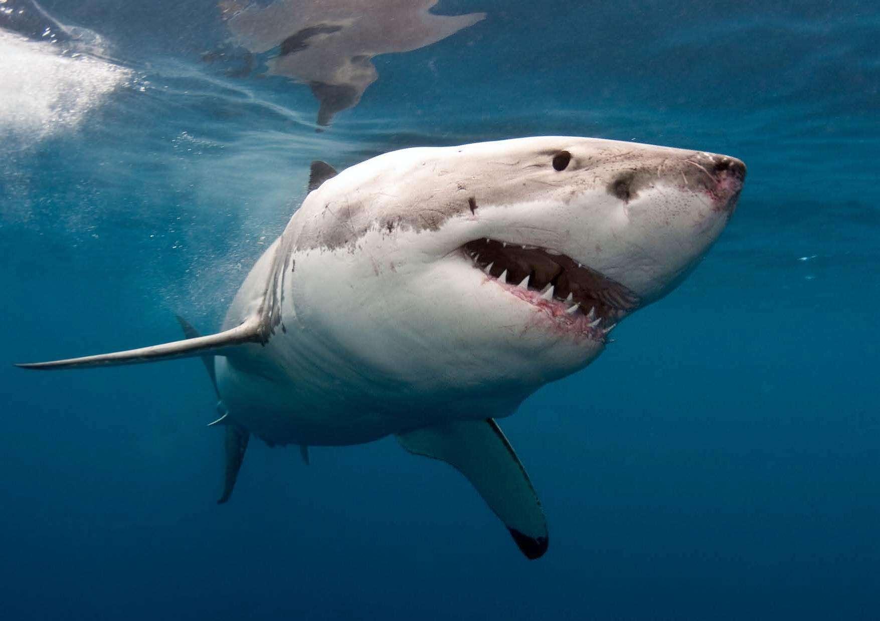 Охотящаяся Белая акула фото