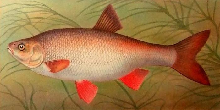 Рыба-язь фото