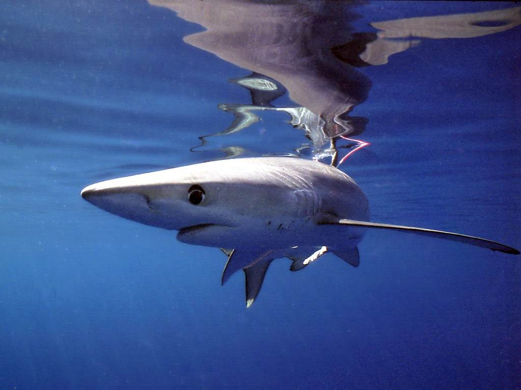 Interesting Thresher shark wallpaper