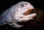 Interesting Wolf-eel