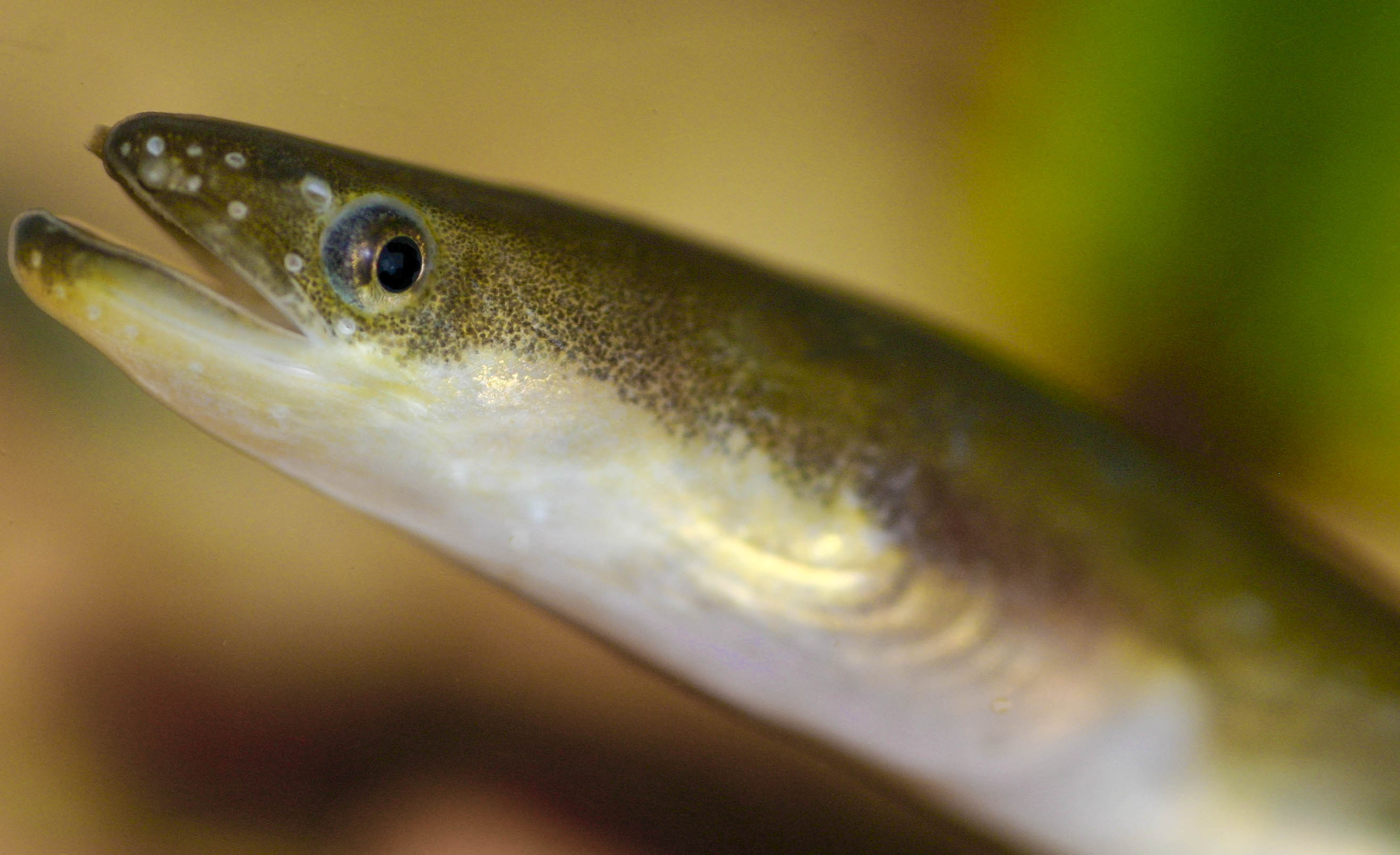 Japanese eel wallpaper