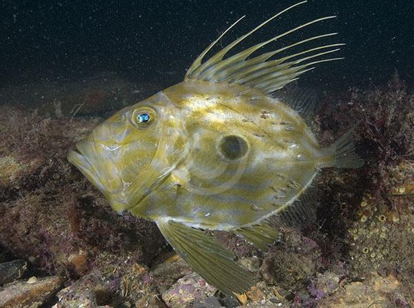 John Dory in the rocks wallpaper