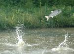 Jumping Silver carp