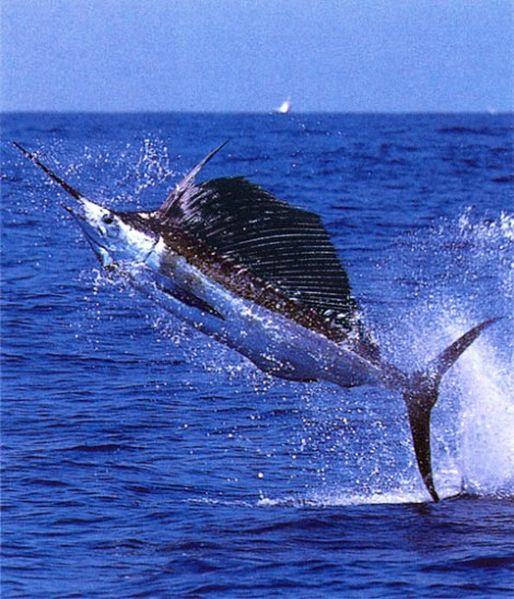 Jumping Swordfish wallpaper