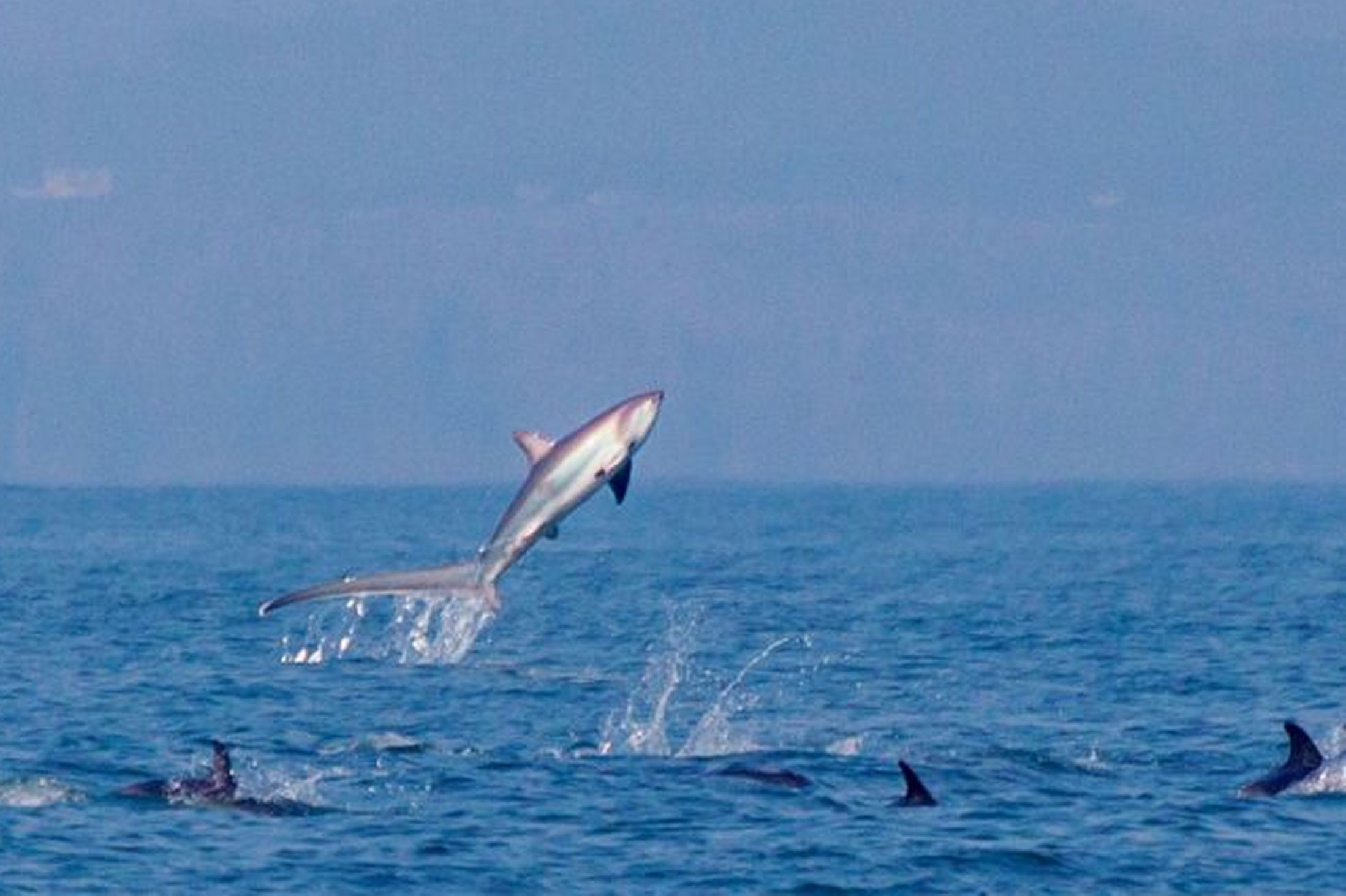 Jumping Thresher shark wallpaper