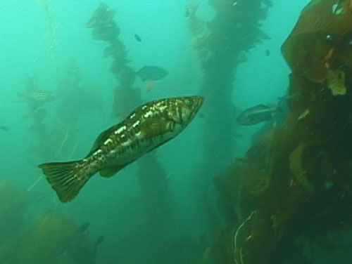 Ламининария рыба фото