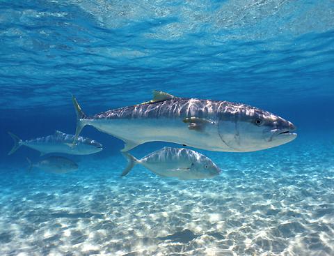 Королевская рыба под водой фото