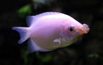 Kissing gourami swims