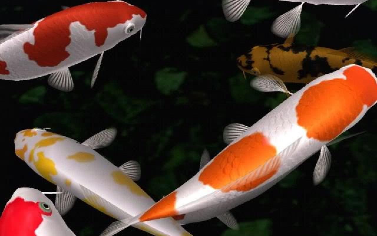Koi fishes swims photo and wallpaper cute koi fishes for Koi fish species