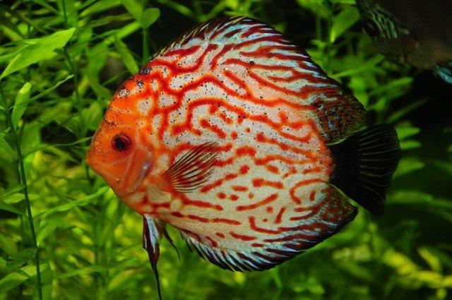 Лабиринтовая рыба плывет фото