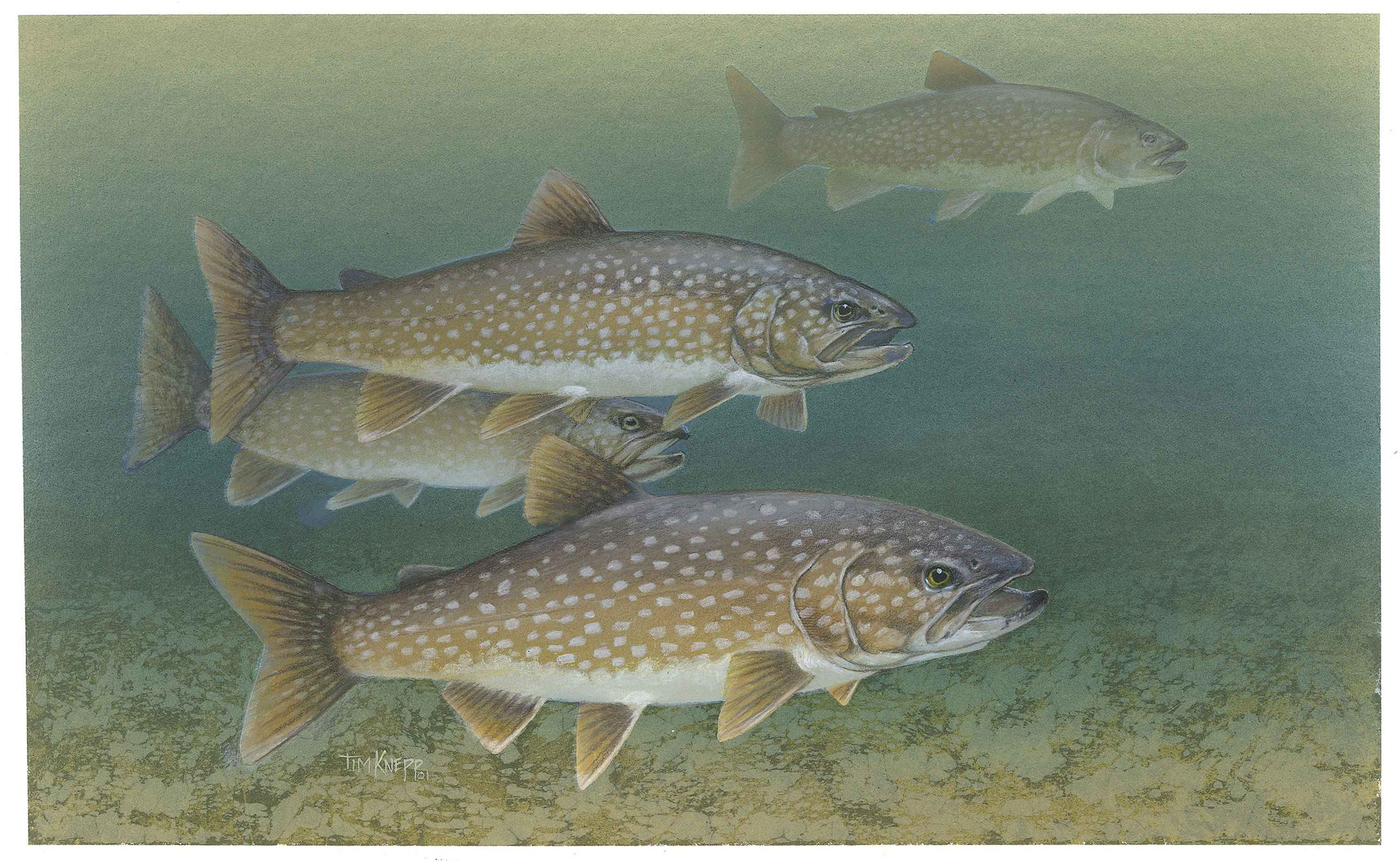 Lake trout wallpaper