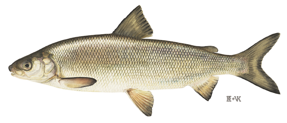 Lake whitefish wallpaper