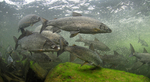 Озерные сиги под водой