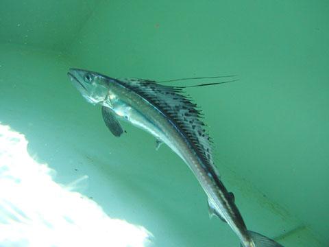 Зубатка (рыба) фото
