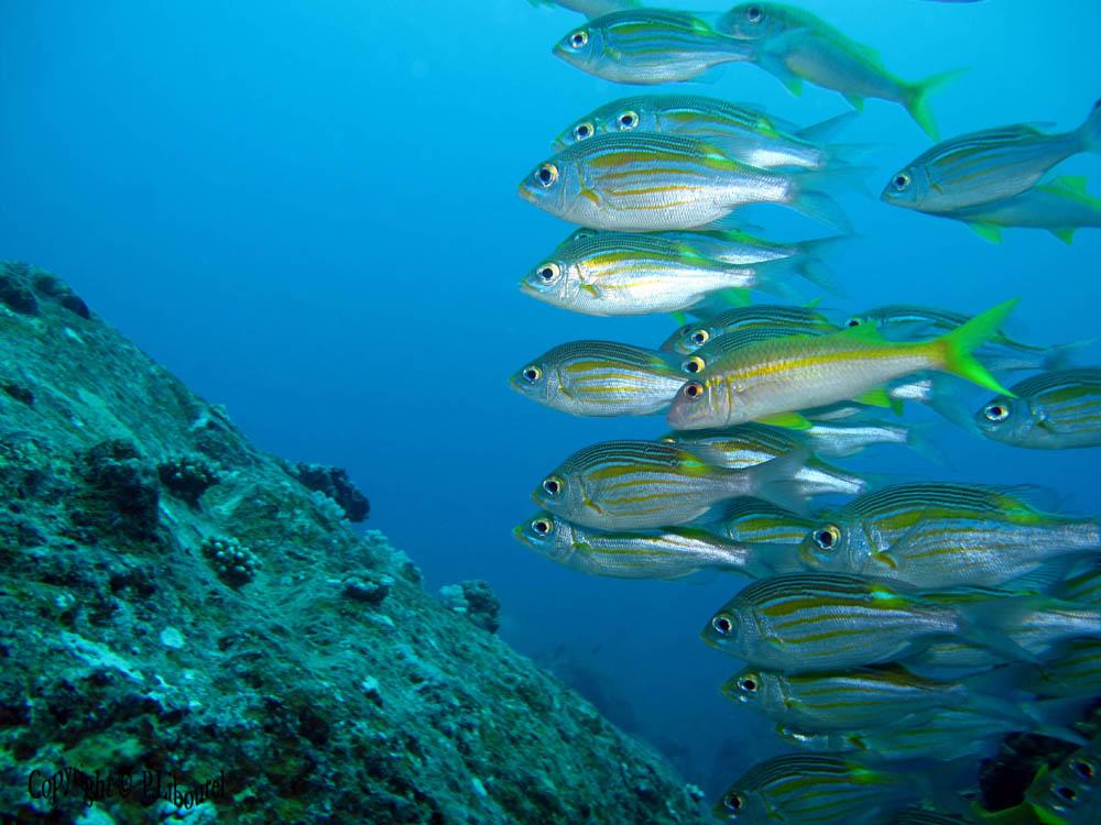 рыба толстолобик википедия